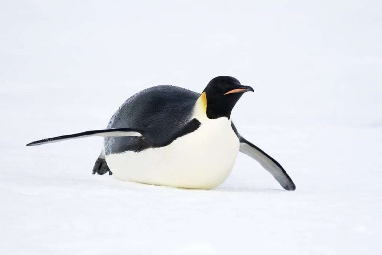 Emperor penguin sliding on the ice